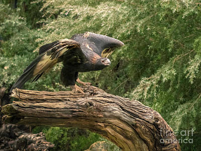 Wedge-tailed Eagle Australia Art Print