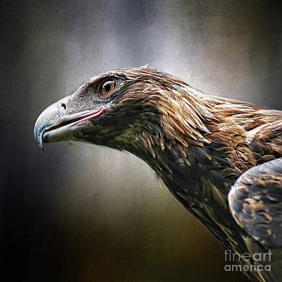 Wedge-tailed Eagle Portrait By Kaye Menner Art Print