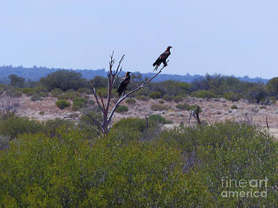 Photograph - Wedge-tailed Eagles by Phil Banks