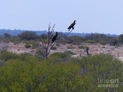 Wedge-tailed Eagles Art Print