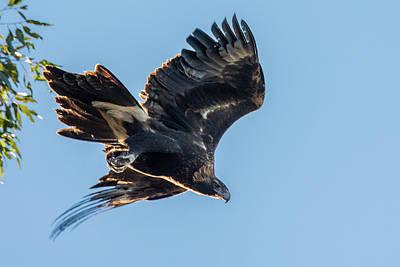 Wedgetail Eagle Art Print