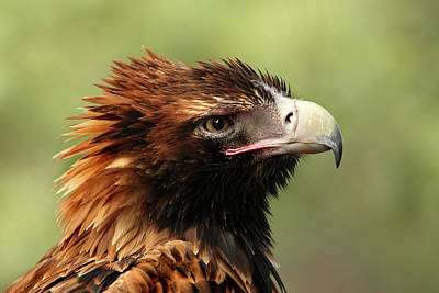Photograph - Wedge-tailed Eagle by Marion Cullen