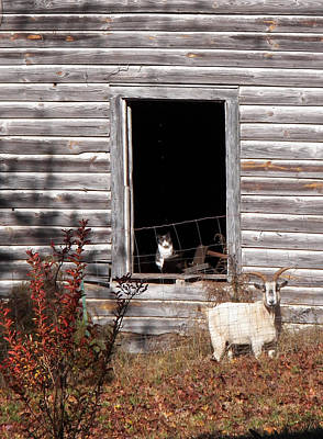 Goat Photograph - Wee See You by Jennifer Robin