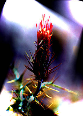 Photograph - Arizona Thistle by John Foote