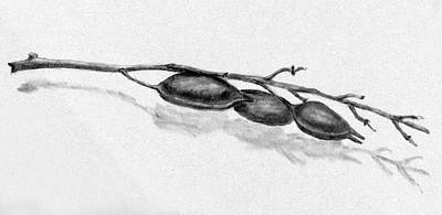 Drawing - Weed With Seed Pods by Kevin Callahan