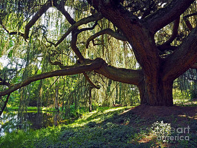 Loup Photograph - Weeping Blue Atlas Cedar Tree by Alex Cassels
