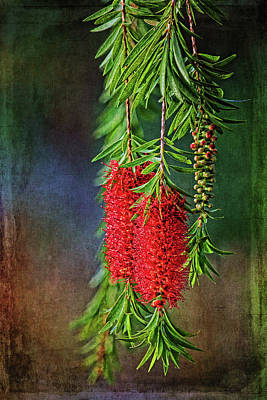 Photograph - Weeping Bottlebrush by HH Photography of Florida