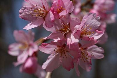 Photograph - Weeping Cherry Blossoms by Kathryn Meyer