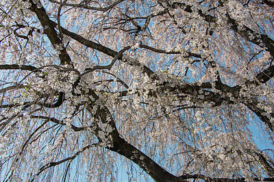 Photograph - Weeping Cherry In Spring by Liza Eckardt