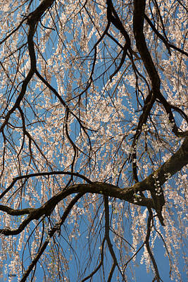 Photograph - Weeping Cherry Limbs by Dana Sohr