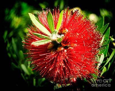 Crimson Bottlebrush Photograph - Weeping Red Bottlebrush by Mariola Bitner