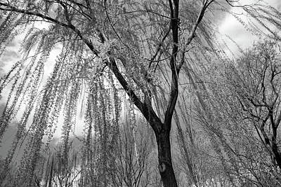 Photograph - Weeping Willow Spread - 2 by Cora Wandel
