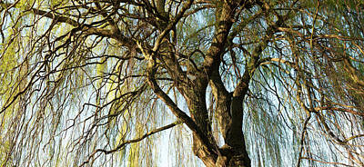 Photograph - Weeping Willow by Tim Gainey