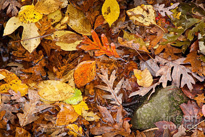 Photograph - Weetamoo Fallen Leaves by Susan Cole Kelly