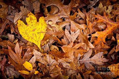 Photograph - Weetamoo Sassafras Leaf by Susan Cole Kelly
