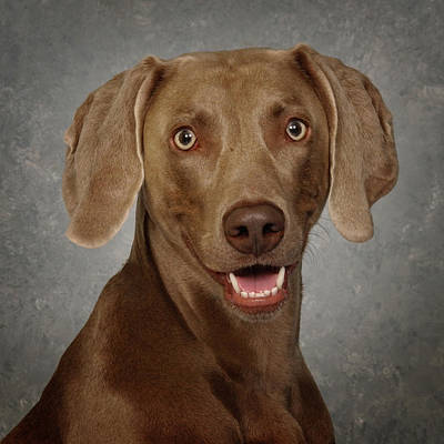 Weimaraner Photograph - Weimaraner by Greg Mimbs
