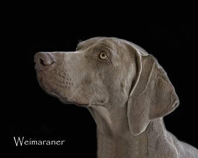 Weimaraner Photograph - Weimaraner by Larry Linton