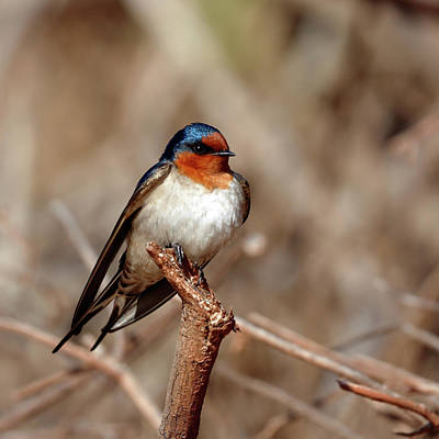 Photograph - Welcome Swallow by Nicholas Blackwell