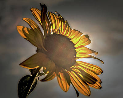 Photograph - Welcome The Day With A Sunny Yellow Flower by Philip A Swiderski Jr