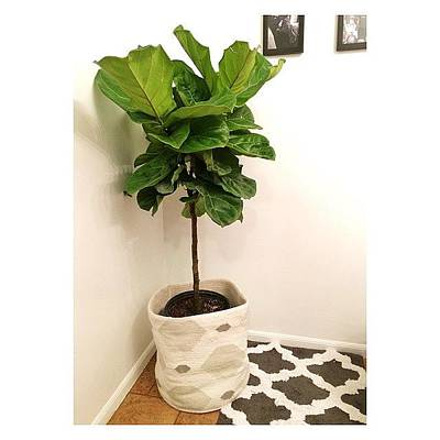 Fiddles Wall Art - Photograph - Fiddle Leaf Fig by Kathryn  Prantl