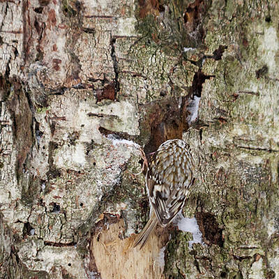 Photograph - Well Hidden. Eurasian Treecreeper by Jouko Lehto