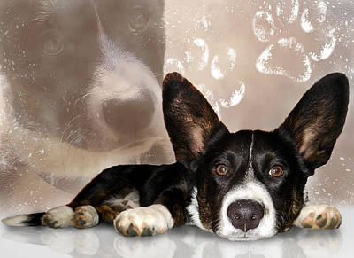 Photograph - Welsh Corgi Cardigan by Mariella Wassing
