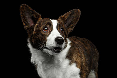 Photograph - Welsh Corgi Cardigan  by Sergey Taran