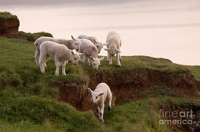 Mammals Royalty-Free and Rights-Managed Images - Welsh Lambs by Angel Ciesniarska