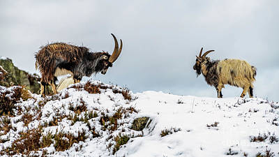 Goat Wall Art - Photograph - Welsh Mountain Goats by Adrian Evans