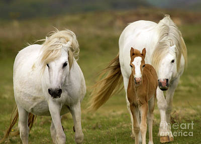 White Unicorn Photograph - Welsh Ponies by Angel  Tarantella