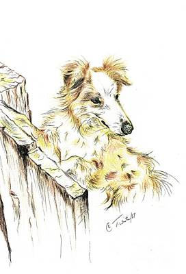 Drawing - Welsh Sheep Dog by Teresa White