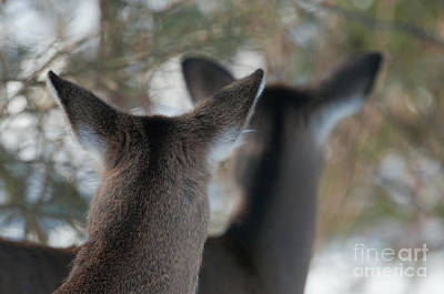 Two Deer Photograph - We're All Ears by Sandra Bronstein