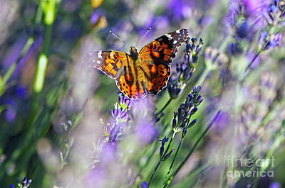 Photograph - West Coast Painted Lady Butterfly On Lavender 2 by Sharon Talson