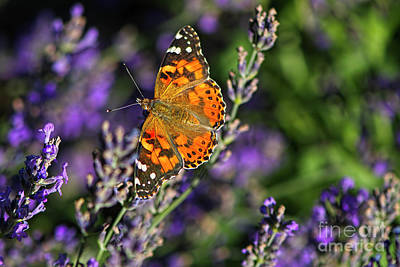 Photograph - West Coast Painted Lady Butterfly by Sharon Talson