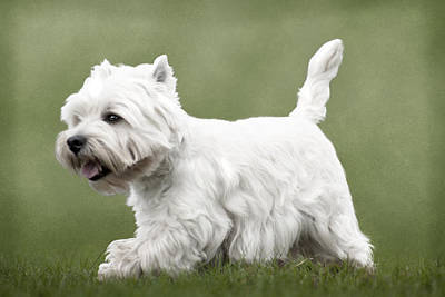 Dog Photograph - West Highland Terrier Trotting by Ethiriel  Photography