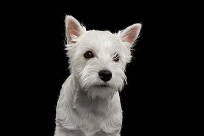 Photograph - West Highland White Terrier by Sergey Taran
