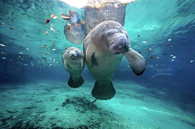 Sea Life Photograph - West Indian Manatees by James R.D. Scott