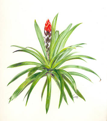 Epiphyte Painting - West Indian Tufted Air Plant by Penrith Goff