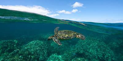 West Maui Green Sea Turtle Art Print