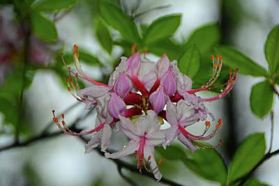 Photograph - West Virginia Appalachian Trail Flowers by Raymond Salani III