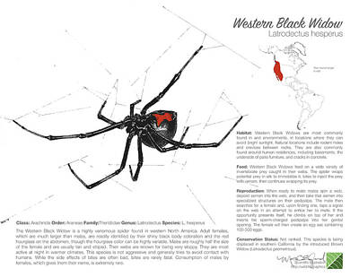 Drawing - Western Black Widow Infographic by Marcus England