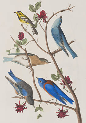 Warbler Painting - Western Blue-bird by John James Audubon