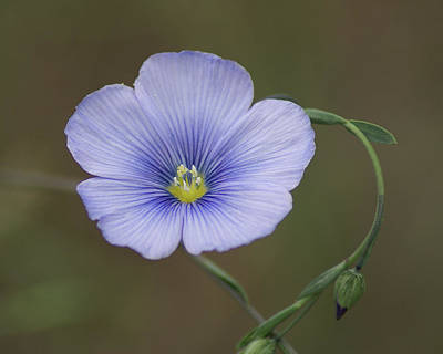 Art Print featuring the photograph Western Blue Flax by Ben Upham III
