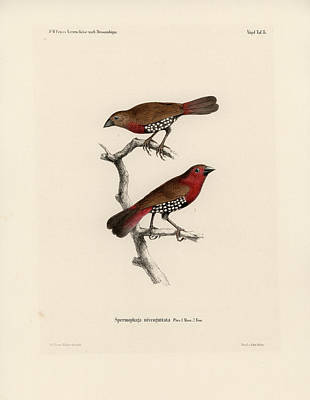 Drawing - Western Bluebill by J D L Franz Wagner