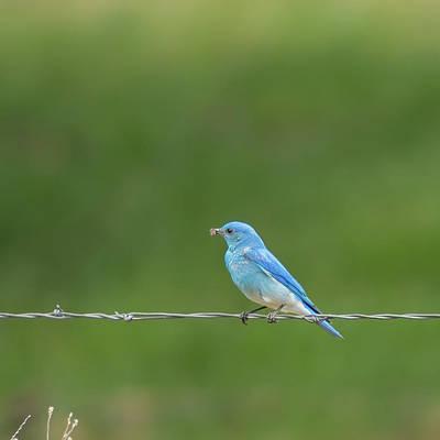 Photograph - Western Bluebird by Brenda Jacobs