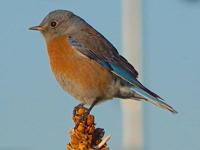 Photograph - Western Bluebird by Dan Miller