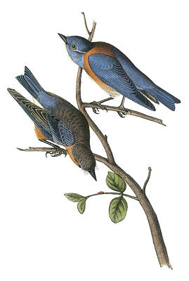 Bluebird Painting - Western Bluebird by John James Audubon