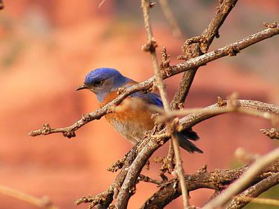 Marilyn Photograph - Western Bluebird by Marilyn Smith