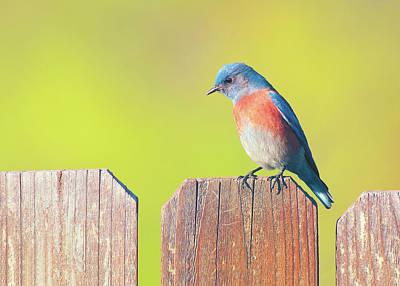 Photograph - Western Bluebird by Ram Vasudev