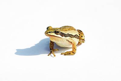 Photograph - Western Chorus Frog 01 by Josh Bryant